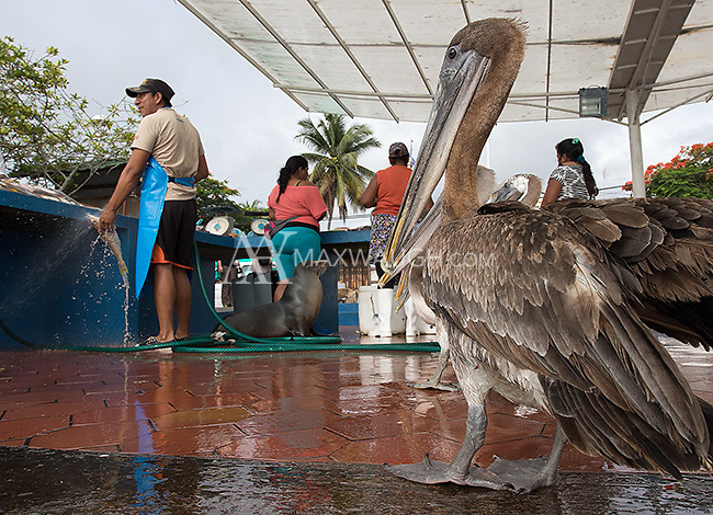 Brown pelicans are one of the larger birds found in the Galapagos.  They sometimes wait for handouts at the fish market.