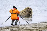Atlantic walrus, Odobenus rosmarus rosmarus, Spitsbergen, Svalbard, Norway, Arctic Ocean, MR