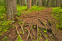 Black spruce trees and lforest fllor of tree roots, and moss in the Boreal forest <br />