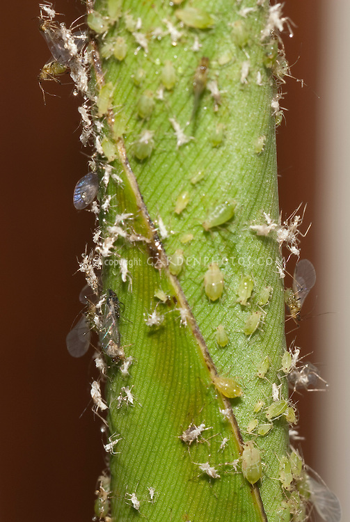 Greenfly in several life stages including winged, glasshouse greenhouse insect pest problem for plants