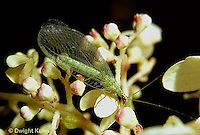 1L01-136z  Green Lacewing adult on flower - Chrysopa spp.