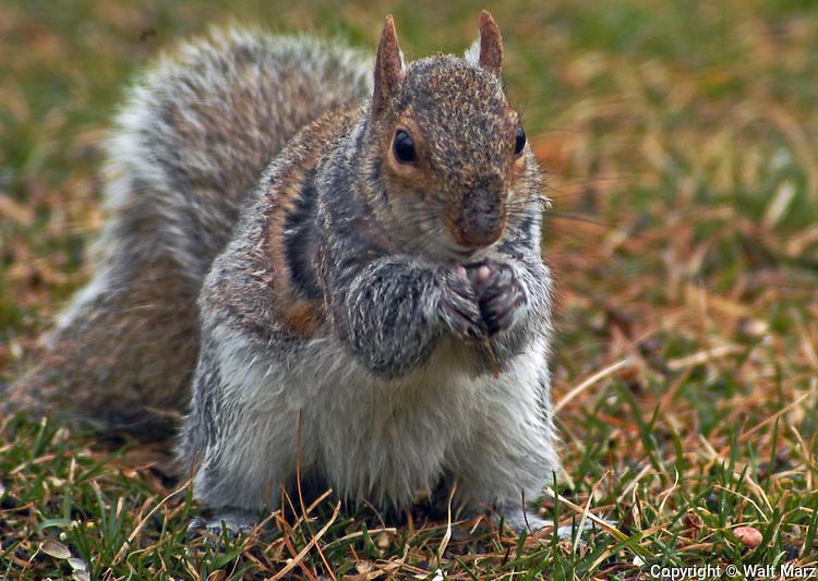 Grey Squirrel working on acorns under the Big Oak in back yard