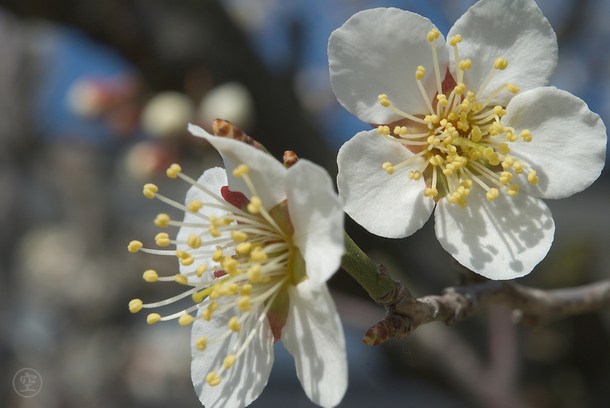 Detail of white flowering Japanese plum (prunus mume) in the early spring.