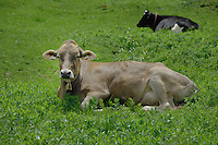 Brown calfs with their new cow bells. Imst district, Tirol, Austria.