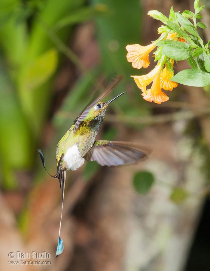 Male booted racket-tail, Ocreatus underwoodii. Tandayapa Valley, Ecuador
