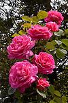 ROSA 'CLIMBING PINK PEACE', HYBRID TEA ROSE