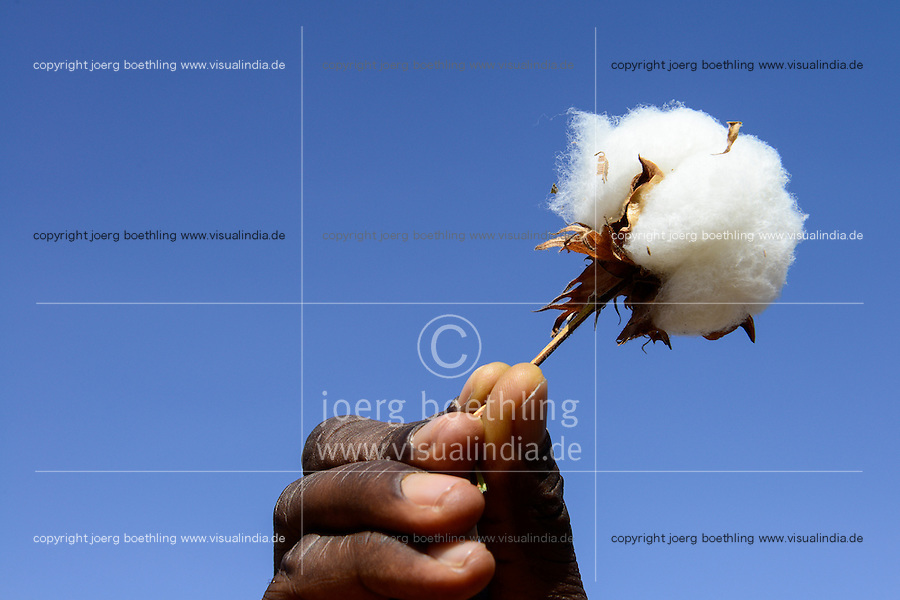 BURKINA FASO, village GOUMSIN near SAPONE, organic and fair trade cotton farming, manual harvest, hand with boll formation with fibre / Ernte von fair gehandelter Biobaumwolle, Hand mit Baumwollkapsel mit Baumwollfasern