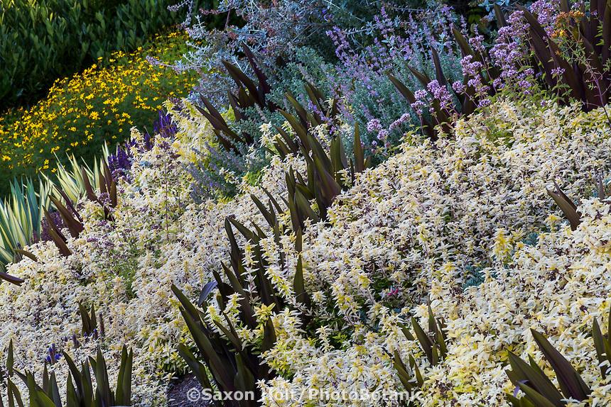 Origanum vulgare 'Aureum'  Creeping Golden Marjoram or Golden Oregano groundcover with Eucomis comosa 'Sparkling Burgundy' (Pineapple Lily) Albers Vista Gardens