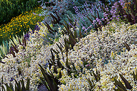 Origanum vulgare 'Aureum'  Creeping Golden Marjoram or Golden Oregano groundcover with Eucomis comosa 'Sparkling Burgundy' (Pineapple Lily) Albers Vista Gardens