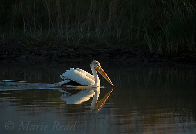 American WhIte Pelican (Pelecanus erythrorhynchos), swimming, dark surroundings, Bear River Migratory Bird Refuge, Utah, USA