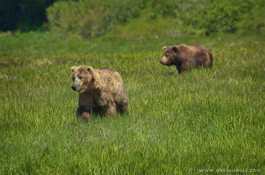 Two Brown Bears walk through grass near Mikfik Creek. Summer at McNeil RIver Bear Sanctuary in Southwest Alaska.