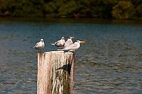 US, Florida. Ten Thousand Islands, Everglades. Royal Tern.
