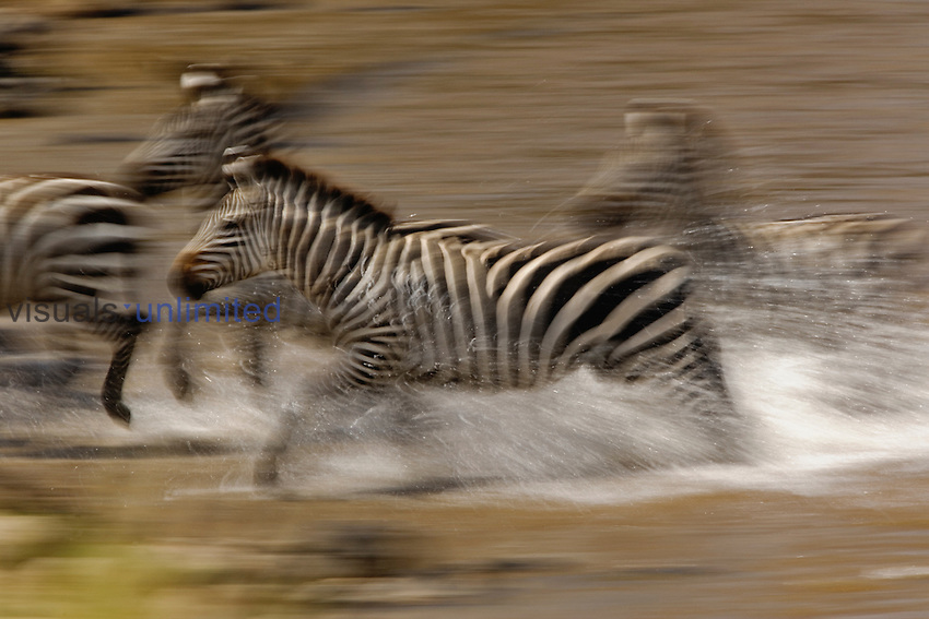 Burchell's Zebras (equus burchelli) running across Mara River, Masai Mara Game Reserve, Kenya.