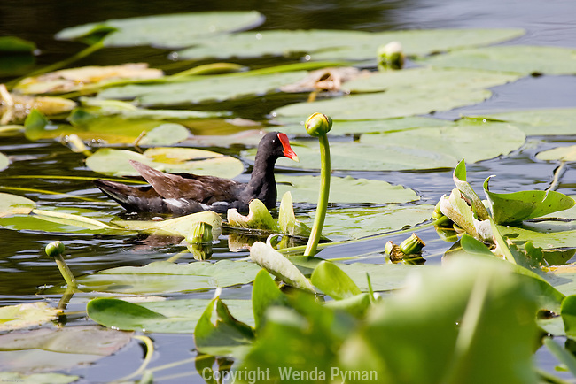 The Common moorhen is found in marsh environments and well vegetated lakes and ponds.
