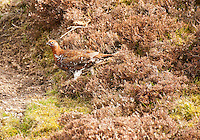 Grouse at Arkengarthdale, North Yorkshire.