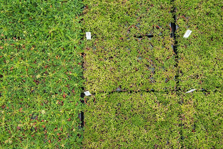 Salad burnet, Poterium sanguisorba (Sanguisorba minor), and Thyme-leaved sandwort, Arenaria serpyllifolia, being grown for restoration at Wakehurst Place - Royal Botanic Gardens, Kew. Ardingly, West Sussex, UK.