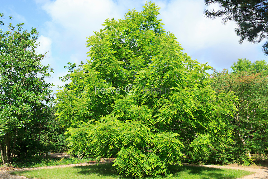 Noyer noir, Juglans nigra // eastern black walnut, Juglans nigra.