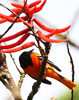 Northern oriole in coral bean tree
