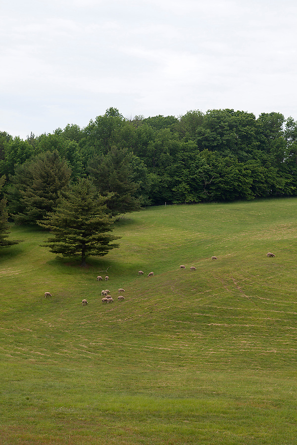 Sheep grazing on a hillside in summer, northwestern Michigan, MI, near Petoskey, USA