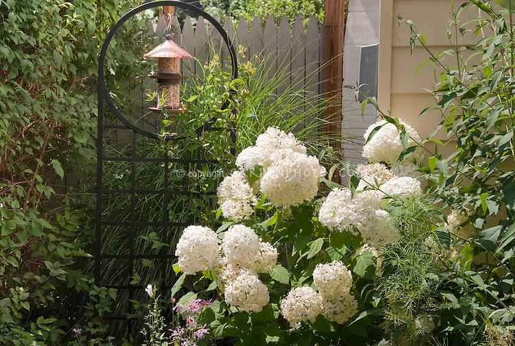 Birdfeeder hanging in zen-like iron lattice next to picket fence and white blooming hydrangea shrub in sunny summer day