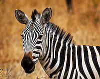 A zebra in Tarangire National Park, northern Tanzania.