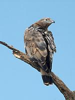 Crested/oriental Honey-buzzard - Pernis ptilorhynchus