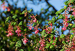 Montara Mountain, blooming currant