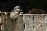 Just out of the nest, this baby Black-crested Titmouse is still learning the ropes :)<br /> Published in the April/May 2013 issue of National Wildlife Magazine (Final Frame).