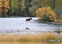 A bull moose crosses Alaska's Upper Kenai River on an autumn evening.