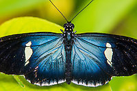 Butterfly, Mashpi Cloud Forest, Choco Rainforest, Ecuador, South America
