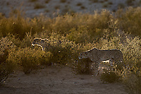 Two rim-lit Cheetah brothers stalking prey in the nossob River Valley