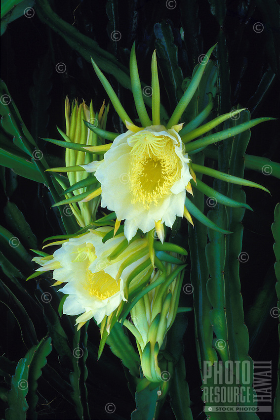 Night blooming cereus flowers(hylocereus undata), a form of cactus grown in the islands