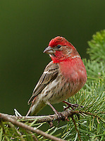 House finch (Carpodacus mexicanus) Adult male with intnse color perched on a fir branch.<br />