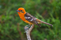 Flame-colored Tanager, Tangara dorsirrayada