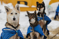 Wade Marrs dogs watch the action from the dog lot in Nome on Saturday March 15 during the 2014 Iditarod Sled Dog Race.<br /> <br /> PHOTO (c) BY JEFF SCHULTZ/IditarodPhotos.com -- REPRODUCTION PROHIBITED WITHOUT PERMISSION