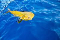 Mahi mahi, Coryphaena hippurus, dolphinfish, dorado, sportfishing, in the water at the boat