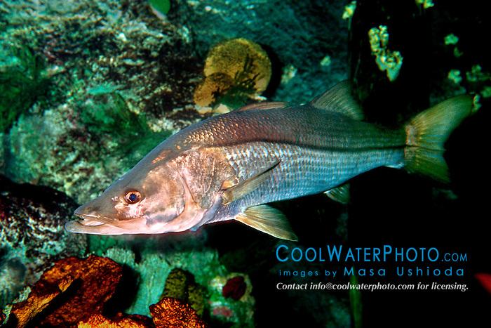 common snook (c), .Centropomus undecimalis, .Islamorada, Florida (Atlantic).