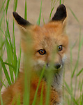 Red Fox Kit<br /> This little guy and his brothers and sisters were fun to watch grow up near our home here in Coal Creek Canyon, Colorado