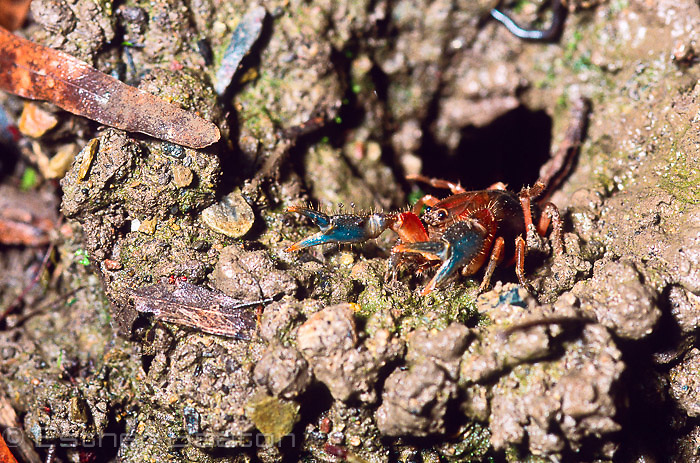 A small Land Yabby emerging from its burrow near a stream. Central Highlands, Victoria.
