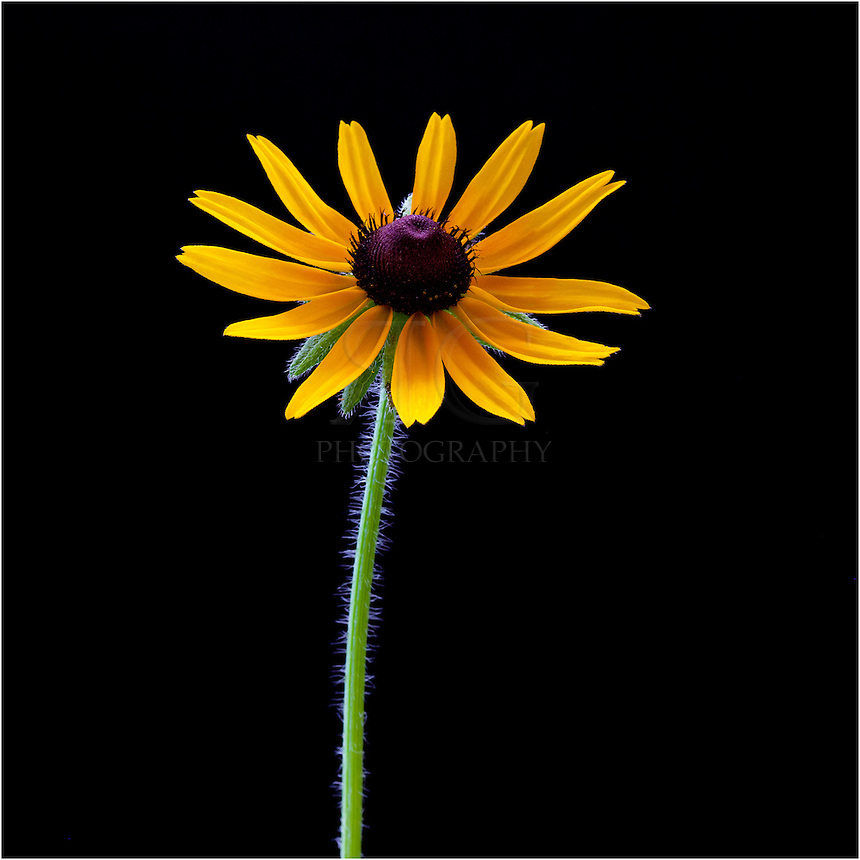 Among Texas wildflowers, the golden sunflower is one of the most colorful and beautiful. This image is taken against a black background.