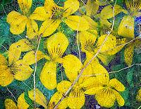 Wood Violet (viola glabella) with decaying leaf. Siuslaw National Forest, Oregon.