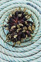 France, Morbihan (56), Golfe du Morbihan, Arzon, Port-Navalo,  Pouce-pied // France, Morbihan, Gulf of Morbihan, Arzon, Port-Navalo,  Pollicipes pollicipes