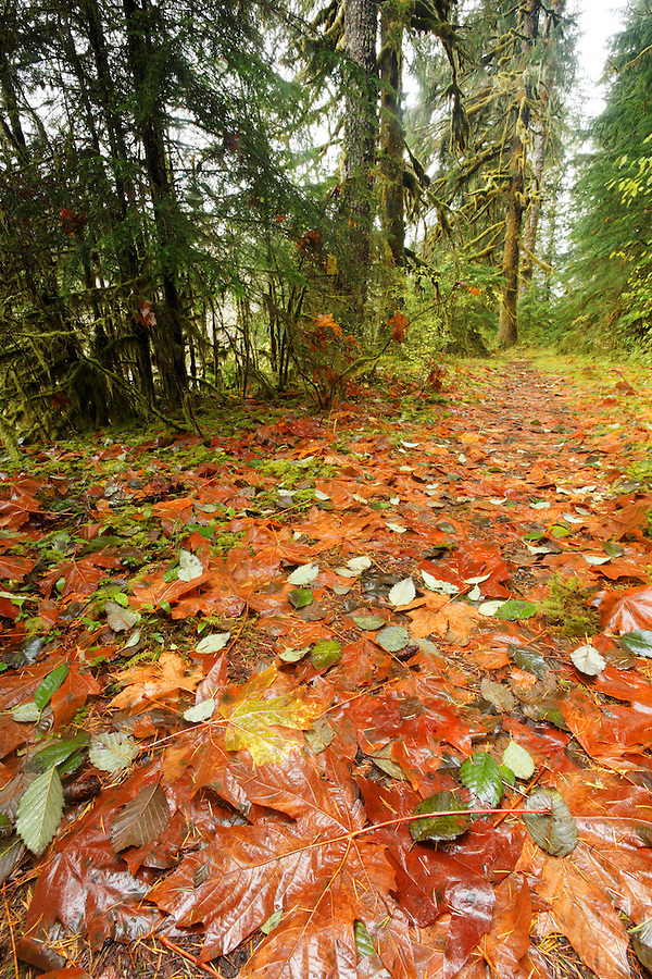 Autumn leaves on trail, Gold Basin Campground, Mountain Loop Highway, Snohomish County, Washington Cascade Mountains