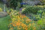 Indianola, WA: Pathway through summer perennial garden featuring orange poppies, euphorbia, helianthemum and verbascum