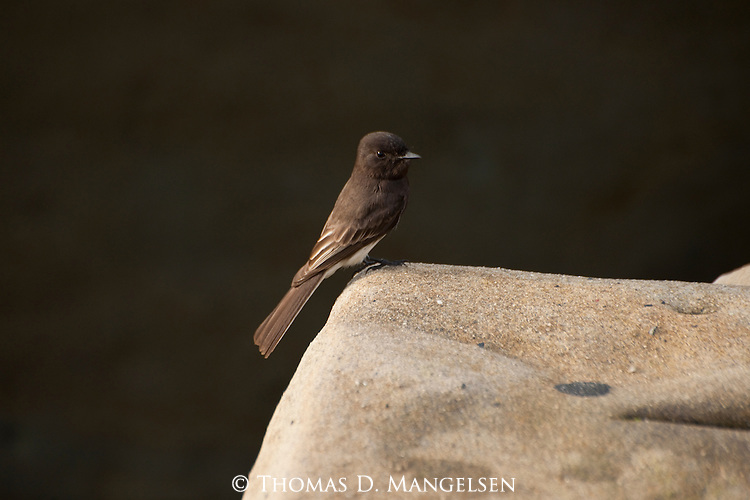 A black phoebe perched on a rock in La Jolla, California.