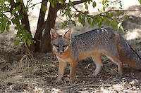 GRAY FOX PROWLING THE WOODS