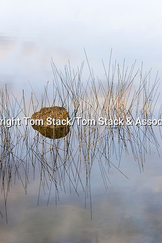 Still dawn with rock and reeds, Everglades National Park, Florida