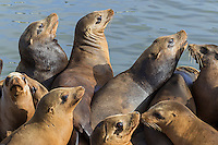 California sea lions (Zalophus californianus) crowding together (sunning/resting) on a boat dock.  Central California Coast.