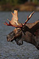 Bull Moose Portrait  #M56