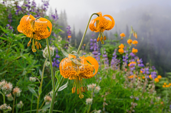 Columbia Lily, Columbian Lily, Oregon Lily or Tiger Lily (Lilium columbianum) with other out-of-focus wildflowers.  Pacific Northwest.  June.  Common wildflower from southern British Columbia in Canada south to northern California and east to Idaho and Nevada (northwestern U.S.A.).